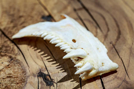jawbone: Tusks of an animal with strange and dangerous teeth, over wooden surface Stock Photo