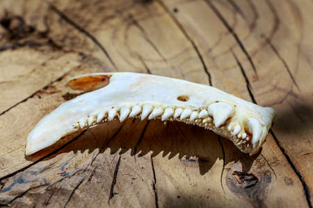 Upper jaw of an animal with bizarre and dangerous teeth, on wooden surface