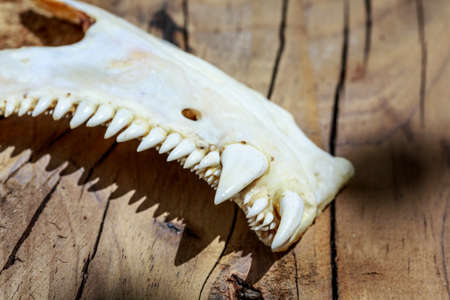 Tusks of an animal with bizarre and dangerous teeth, over wooden surface Stock Photo