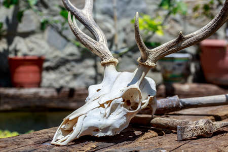 Skull of a deer and rusted pickaxe over wooden beams Stock Photo