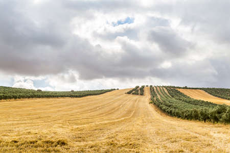 olive groves: Harvested barley field between olive groves and cloudy sky at morning