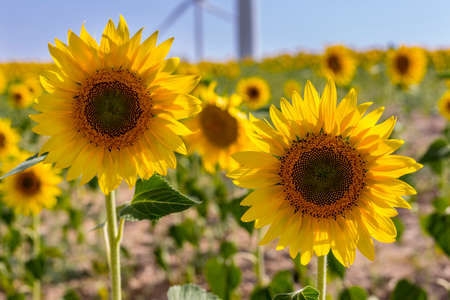 sun energy: Sunflowers in a crop field, with windmills at background