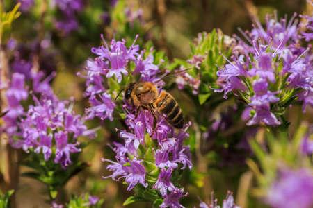 herbolaria: Primer plano de una abeja en las flores lilas de un arbusto de tomillo
