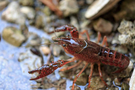 watercourse: Close-up of red crayfish in the watercourse of a irrigation ditch