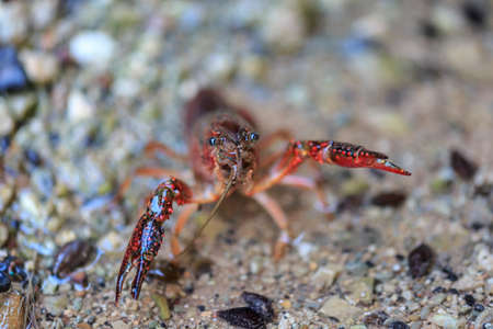 Detail of pincers of a red crayfish in a freshwater stream