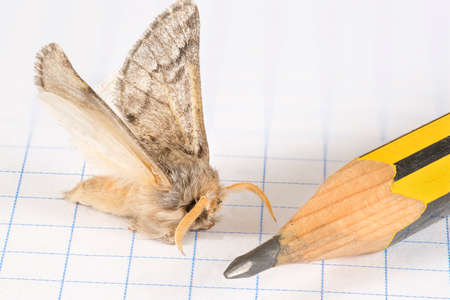 macrophotography: Macro view of a flurry moth landed over the quad paper of a graph notebook, beside the tip of a wooden pencil. Macrophotography