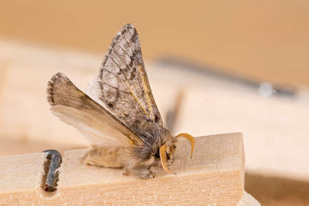 Furry moth landed over a wooden clothespin. Macrophotography