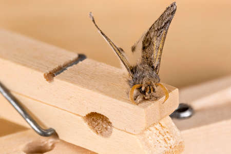 macrophotography: Furry moth landed over the tip of a wooden clothespin. Macrophotography Stock Photo