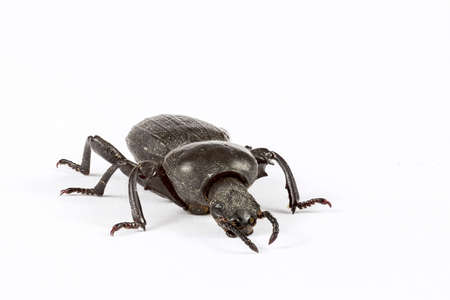 Macro Photography of a little beetle on white background.