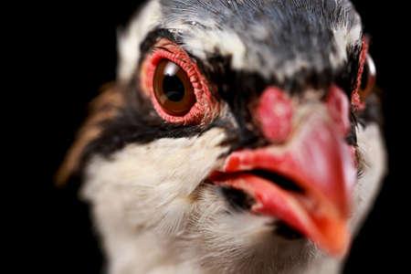 kuropatwa: Close-up of red-legged partridge looking to camera, on black background Zdjęcie Seryjne