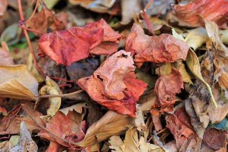 dode bladeren: Red dead leaves. Autumn background Stockfoto