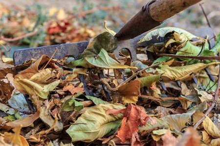 Rake the dead leaves at garden. Autumn chores Stockfoto