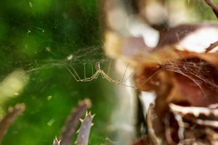 arachnoid: Small spider with long legs hanging upside down from its cobweb Stock Photo