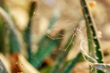 arachnida: Spider in the cobweb, in front of several cactus plants