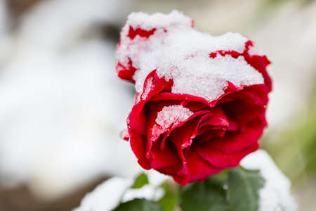 Red rose covered by snow. Winters rose