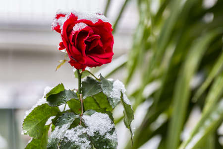 Red rose under the snow