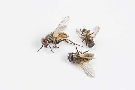 Dead flies on white Stock Photo