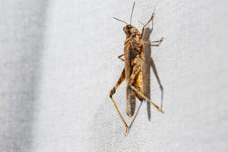 Pygmy grasshopper climbing a white curtain at home. This ugly insect is less than an inch long