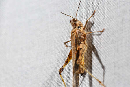Macro photography of a brown pygmy grasshopper less than an inch long that is climbing a white curtain at home