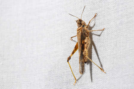 Tiny and ugly brown grasshopper hanging on white fabric of a curtain. Bugs at home. Stockfoto