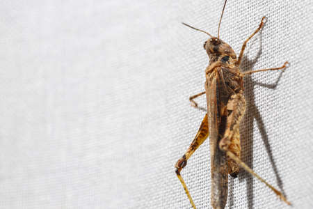 Macro view of tiny and ugly brown grasshopper less than an inch long hanging on white fabric of a curtain. Bugs at home. Blank space at left. Stockfoto