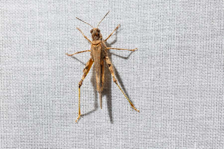 Dorsal view of a brown pygmy grasshopper less than an inch long that is climbing a white curtain at home