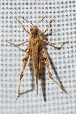 Dorsal view of a pygmy grasshopper less than an inch long that is hanging on white fabric of a curtain at home