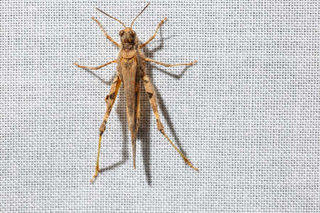 Dorsal view of a brown pygmy grasshopper less than an inch long that is climbing a white curtain. Bugs at home