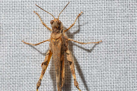 Extreme close-up of brown pygmy grasshopper less than an inch long that is climbing a white curtain. Bugs at home