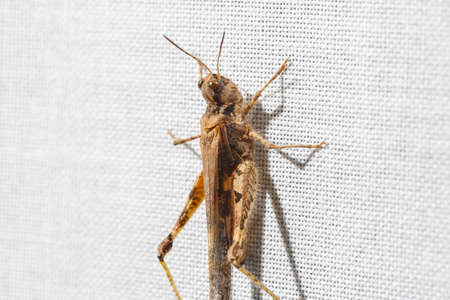 Extreme macro view of tiny and ugly brown grasshopper less than an inch long climbing the white fabric of a curtain. Bugs at home.
