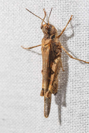 Macro photography of a tiny and ugly brown grasshopper less than an inch long hanging on the white fabric of a curtain. Bugs at home Stockfoto