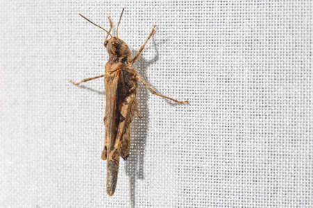 Macro view of tiny and ugly brown grasshopper less than an inch long hanging on white fabric of a curtain. Bugs at home. Blank space at right