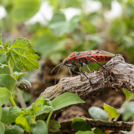 Small black and red seed bug at field ground, over a dry stem. Side view of Spilostethus pandurus, insect belonging to the family Lygaeidae