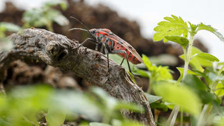 Seed bug crossing a