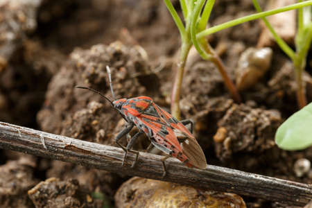 Red and black bug over a tiny dry stem at field ground. Spilostethus pandurus is a beauty insect belonging to the family Lygaeidae