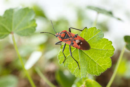 Red insect over a small leaf, upperside view. Spilostethus pandurus is a red and black real bug, commonly known as seed bugs