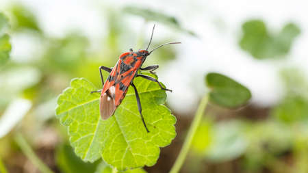 Red insect over a green leaf, side rear view. Spilostethus pandurus is a red and black real bug, commonly known as seed bugs Stockfoto