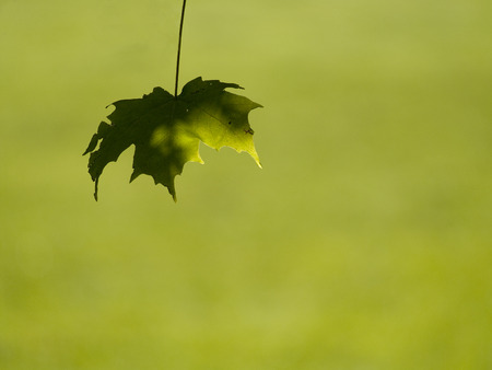A solitary maple leaf with a green background Stock Photo