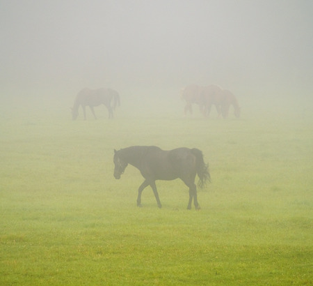 Three horses in a field on a foggy day