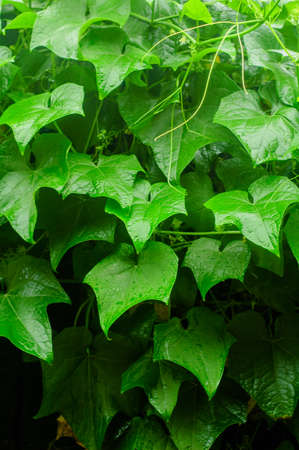 chayote: Chayote plants in garden,northern,