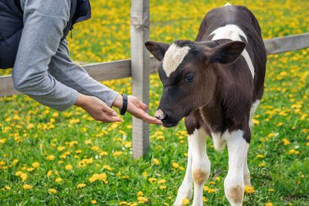 Close-up portrait of a calf with white and brown fur and black eyes that sniffs hands of a woman on the field with green grace in a summer day. The concept of friendship and caring for animal.