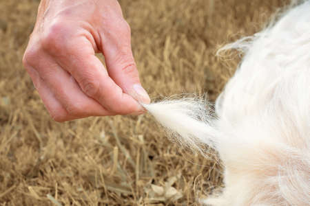 Close-up of tuft of Golden Retriever fur that man pulls out against background of faded yellowed grass