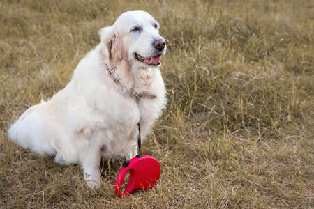 Portrait of a Golden Retriever with a special red roulette Leash on a background of yellow grass.