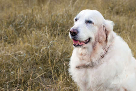 Close-up Portrait of a Golden Retriever on a background of yellow grass. 版權商用圖片