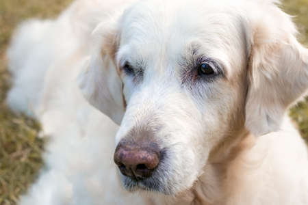 Close-up Portrait of a Golden Retriever on a background of yellow grass 版權商用圖片