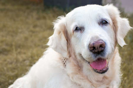 Close-up Portrait of a cute sitting Golden Retriever on a background of yellow grass