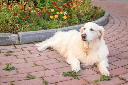 Portrait of a senior Labrador Golden Retriever laying in the city park on a background of flowers and grass. Concept of walking with dogs on streets in town. Care of animals. Life of Pets in the city