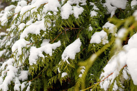 Close-up and selective focus of snow-covered branch of fir tree. Winter nature background with copy space. Weather forecast of cold snap and large amount of precipitation and snow. Outdoor forest walk