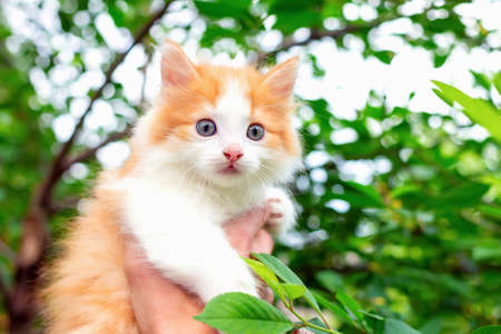 Close up of pretty and cute kitten with white red hair against background of green foliage. Concept of care and tenderness for pets. Man saved little cat and helped him get down from tree. Copy space Stockfoto