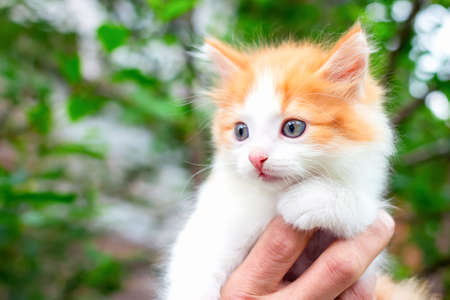 Soft focus of pretty and cute kitten with white red hair against background of green foliage. Concept of care and tenderness for pets. Man saved little cat and helped him get down from tree. Stockfoto